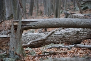 Tree_Falling_Down_-_panoramio