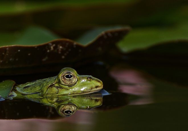 amphibian-aquatic-animal-close-416206
